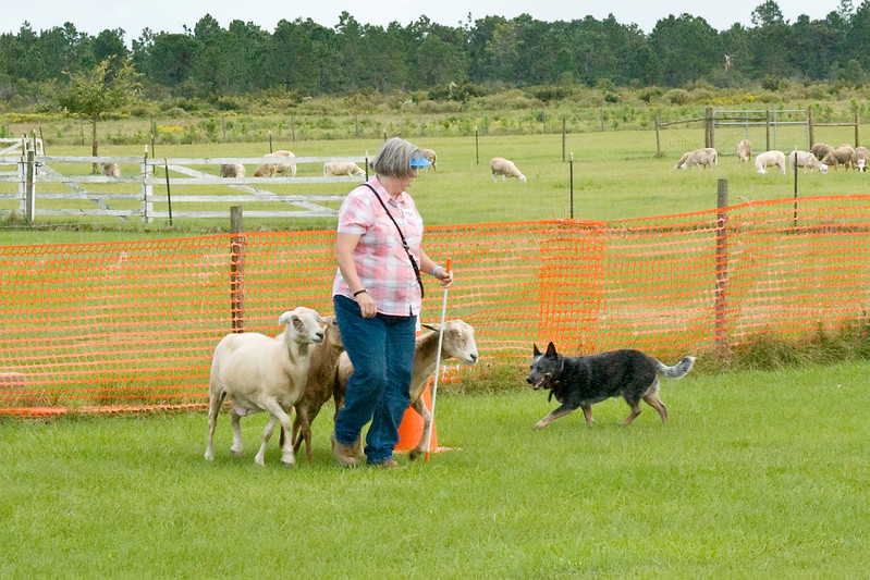 #101 (Sunday) - Taylryder Rafferty's Rules, an Australian Cattle Dog, qualified for his Herding Tested title.  Rafferty is owned by Pamela Johnson.