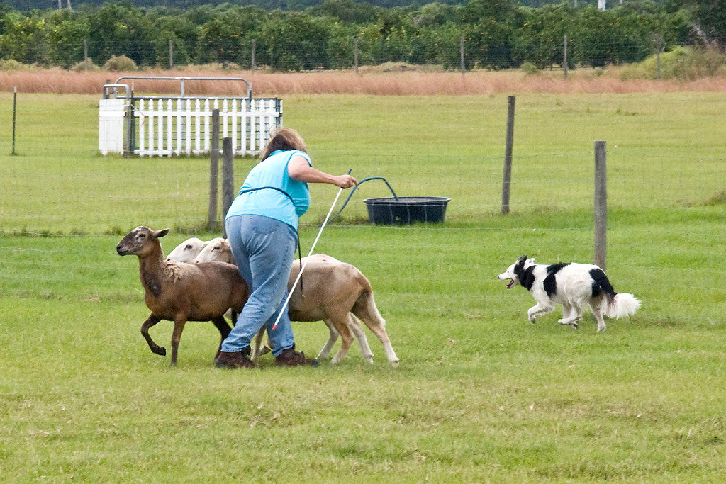 #203 (Saturday) - Annie Bananie, a Border Collie, earned her first leg in PT.  Annie is owned and handled by Nancy Walker.