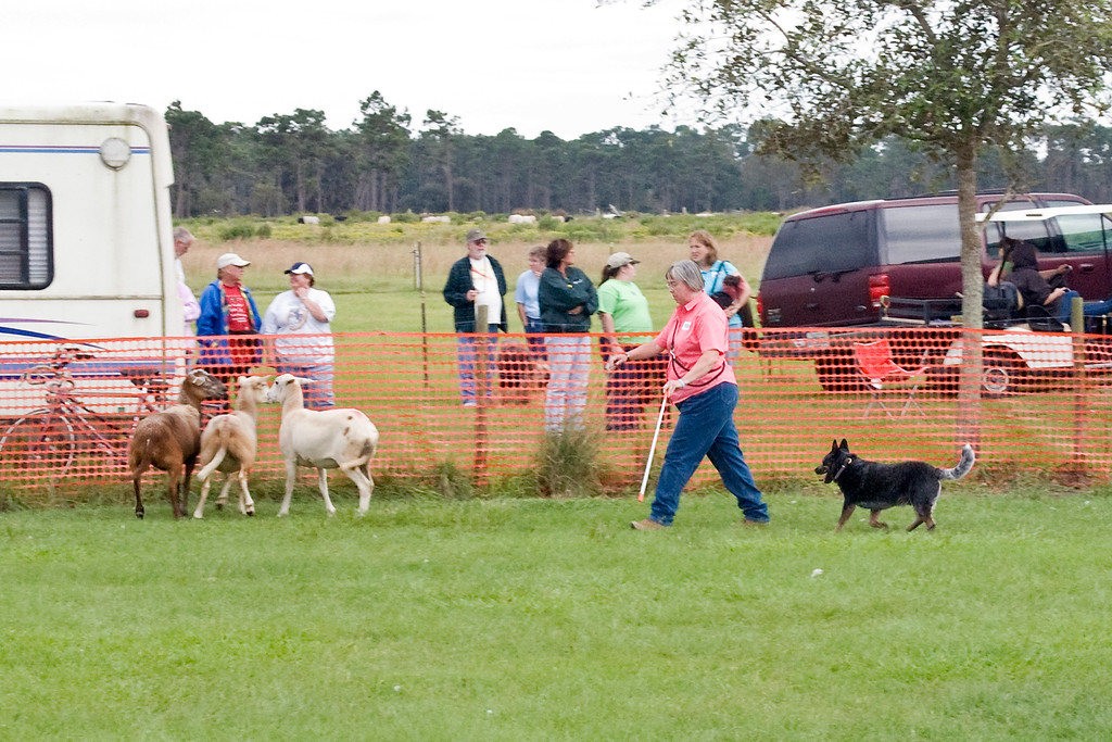 #100 (Saturday) - Taylryder Rafferty's Rules, an Australian Cattle Dog, qualified for his first leg in Herding Tested.  Rafferty is owned by Pamela Johnson.