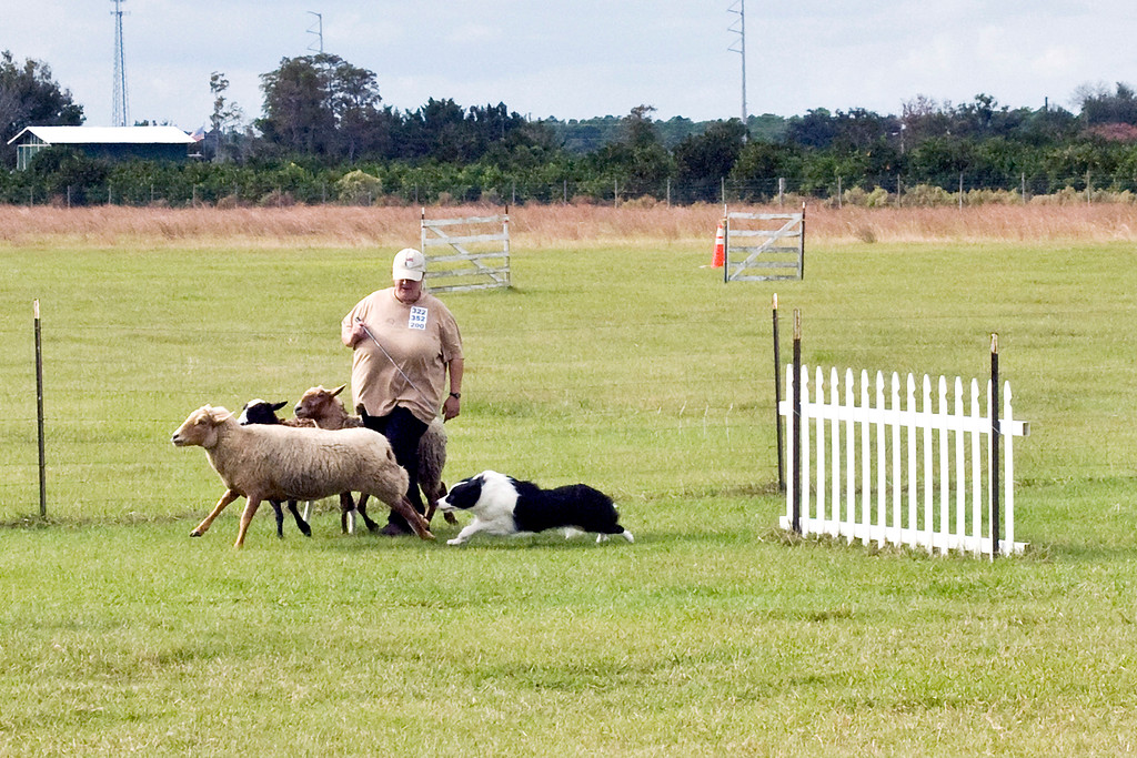 #200 (Saturday) - Holther's Garden Of Good and Evil, a Border Collie, earned her first leg in PT.  Savannah is owned and handled by Holley Grooms.