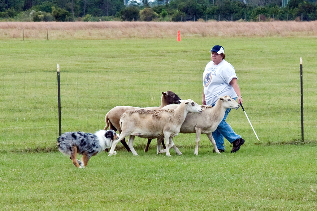 #202 (Saturday) - Broken Trees Blue Chip Winner, an Australian Shepherd, qualified for her first leg in PT.  Rynna is owned and handled by Kim Ann Demanche.
