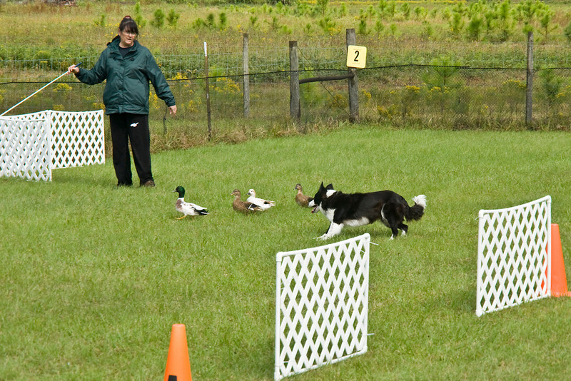 #352 (Sunday) - Solo, a Border Collie, quaified with a score of 67 on the Course A, Started level.  Solo is owned and handled by Carol Tague.