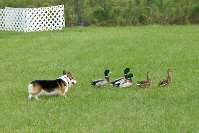 #351 (Saturday) - Ch Baymoor Incantation HSAs, A, OAJ, a Pembroke Welsh Corgi, earned 1st place with a score of 83.5 and time of 4:16 on the Course A, Started level with ducks.  Violet is owned, bred and handled by Bonnie Hansen.