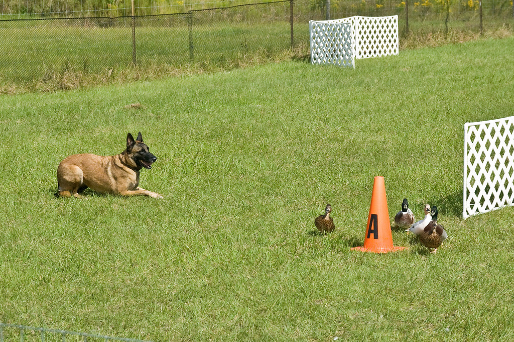 #350 (Saturday) - Xtiva Outbk Of Vitosha, a Belgian Malinois, competed on the Course A, Started level with ducks. Tiva is owned and handled by Conni Borwick.