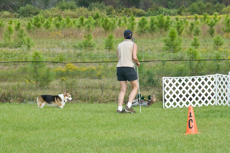 #351 (Saturday) - Ch Baymoor Incantation HSAs, OA, OAJ, a Pembroke Welsh Corgi, earned 1st place with a score of 83.5, time 4:16 on the Course A, Started level.  Violet is owned, bred and handled by Bonnie Hansen.