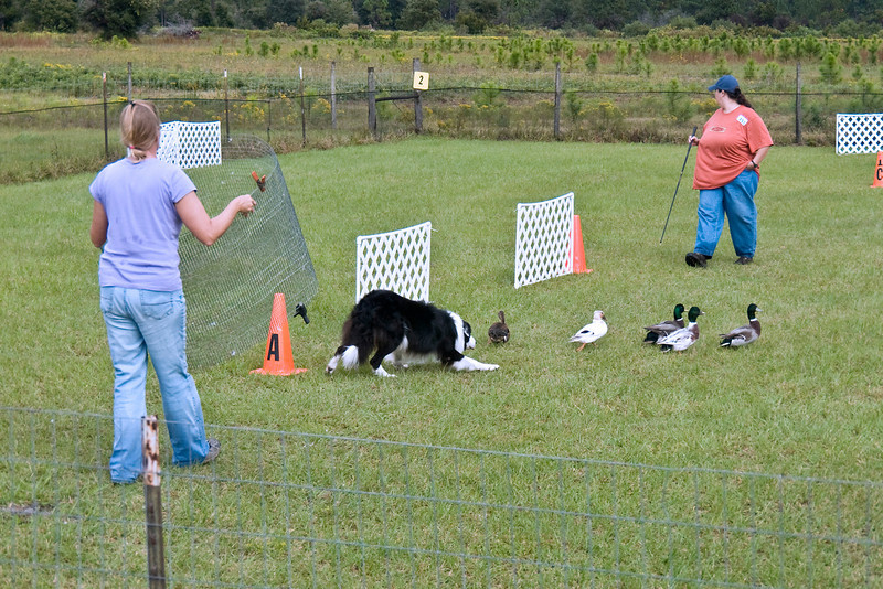 #353 (Sunday) - Ch Blackwood Sport HSAs, a border Collie, quaified on the Course A, Started with a score of 73.5 for 2nd place.  Sport is owned and handled by Holley Grooms.