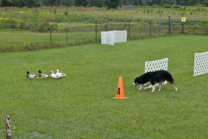 #451 (Saturday) - Le'A WW Keepin My Eye On Ewe HSAs, HIAs, HXAs, HSBsd, a Border Collie, earned 2nd place with a score of 74, time 9:34 minutes on the Course A, Advanced level. He is owned by Sandra Lindenmuth & Laura Wright and handled by Sandra.