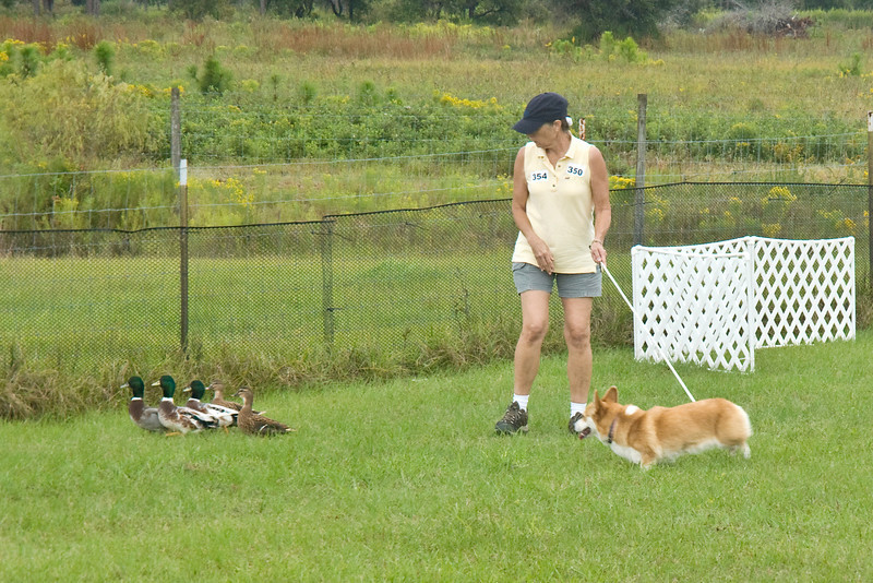 #354 (Sunday) - Ch Baymoor Divination HSAs, AX, AXJ, NF, a Pembroke Welsh Corgi, competed on the Course A, Started level, with ducks. Diva is owned and handled by Bonnie Hansen.
