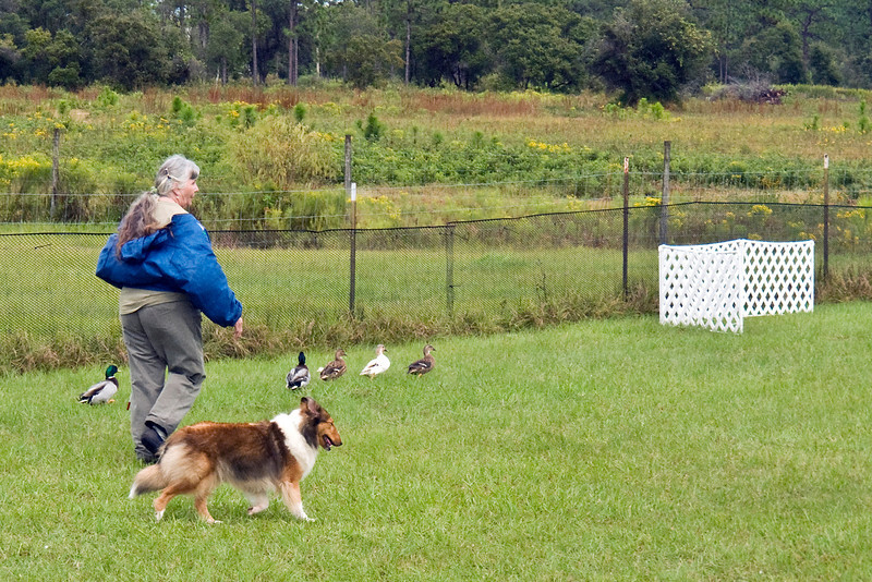 #351 (Sunday) - Lucky Acres Danielle PT, HS, HIs. a Shetland Sheepdog, competed in Started, Course A on Ducks.  Danielle is owned, bred and handled by Joanne Korn.