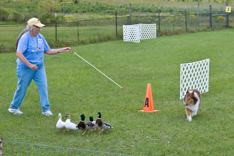 #353 (Saturday) - Lucky Acres Danielle PT, HS, a Shetland Sheepdog, competed on the Course A, Started level with ducks. Danielle is owned, bred and handled by Joanne Korn.