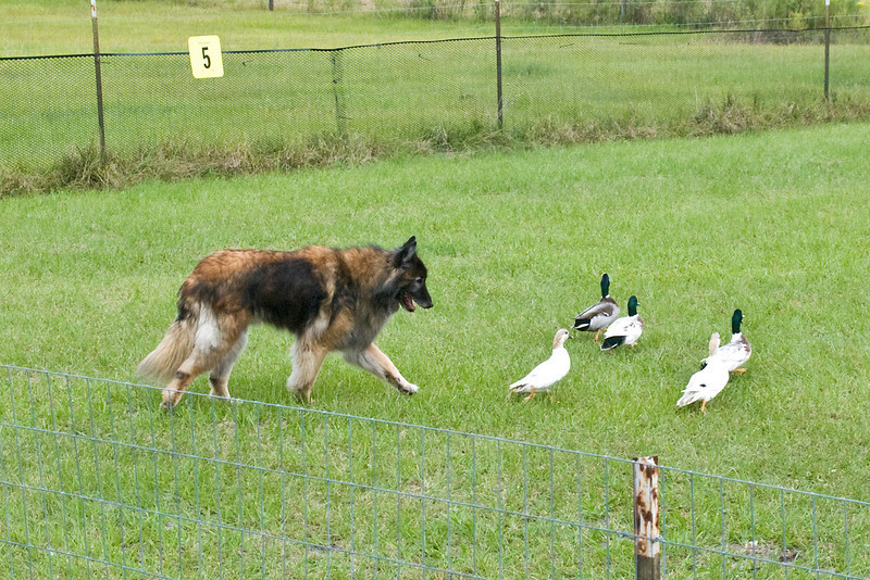 #453 (Saturday) - Tokeen N Hightimes Smart Dart UDX, TDX, AX, AXJ, RN, HSAds, a Belgian Tervuren, competed on the Course A, Intermediate level with ducks. Dart is owned and handled by Conni Borwick.