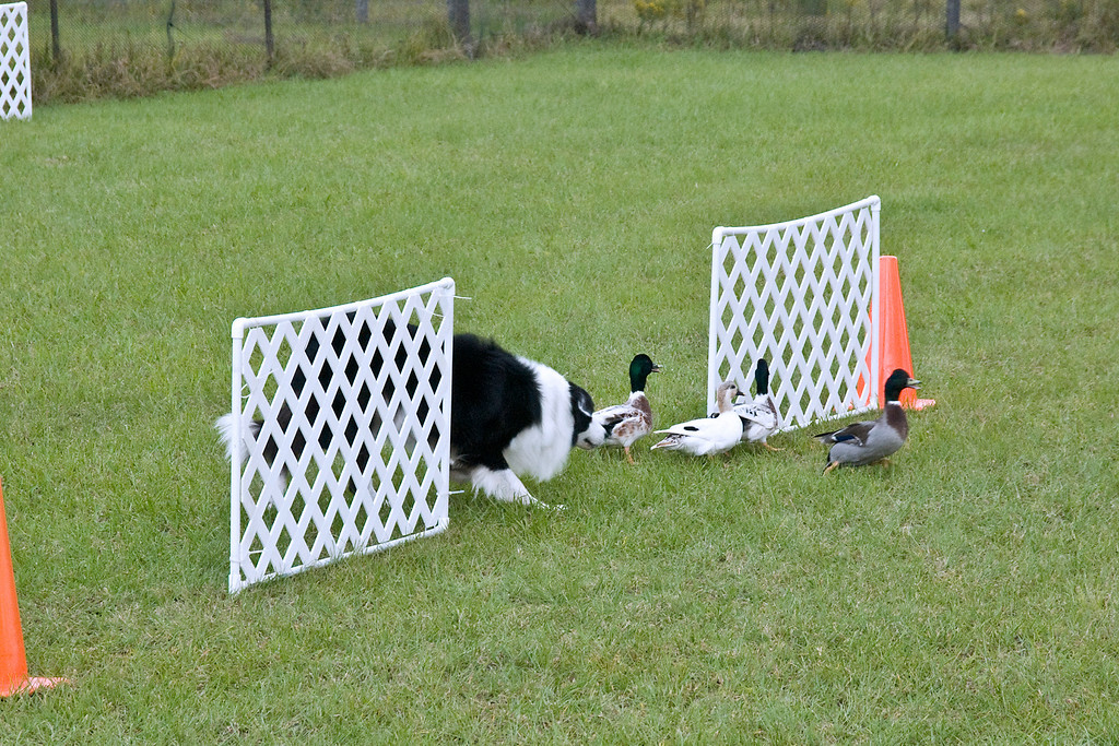#352 (Saturday) - Ch Blackwood Sport HSAs, a Border Collie, competed on the Course A, Started level.  Sport is owned and handled by Holley Grooms.