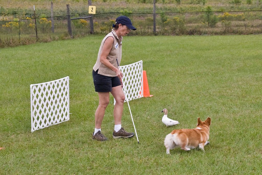 #354 (Saturday) - Ch Baymoor Divination HSAs,AX, AXJ NF, a Pembroke Welsh Corgi, competed on the Course A, Started level.  Diva is owned, bred and handled by Bonnie Hansen.
