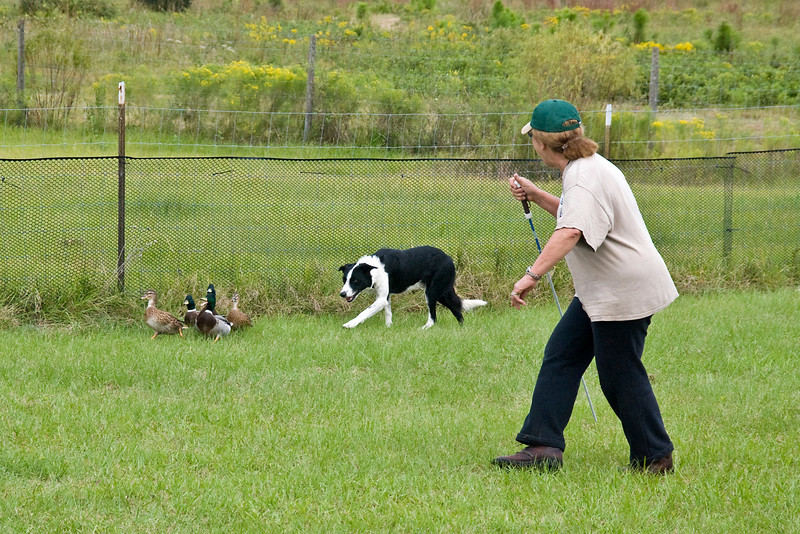 #453 (Saturday) - Lacy's Rob, a Border Collie, took 1st place with a score of 76 and a time of 4:37 minutes on the Course A, Intermediate level with ducks.  Rob is owned and handled by Peggy Gelb.