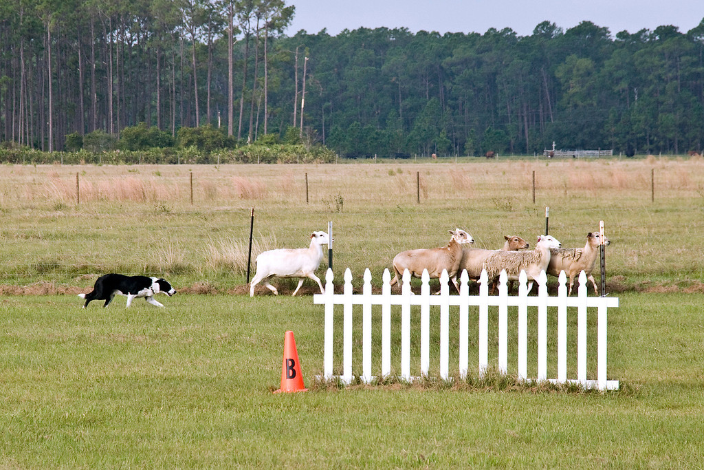 #500 (Saturday) - Lacy's Rob, a Border Collie, qualified for 3rd place with a score of 71 in 4:28 minutes on Course A - Advanced.  Rob is owned and handled by Peggy Gelb.