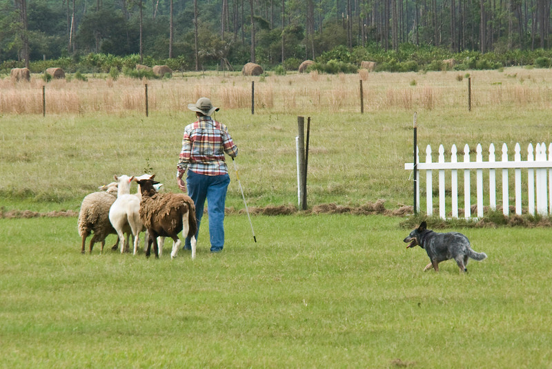 #301 (Sunday) - Sandhill's Truly Unruly, an Australian Shepherd, qualified for 3rd place, with a score of 77 and 4:58 minutes time, on the Course A, Started level.  Truly is owned by breeders Pat & Jerry Leach.