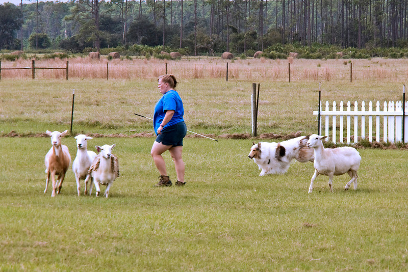 #302 (Sunday) - Ch Sylvan's White Lace and Promises RA, PT, CGC, TT, a Rough Collie, competed in Started on the Course A.  Promise is owned by Dr. Susan Adams & Connie Dubois.