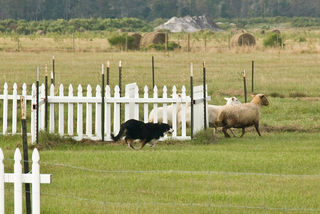 #501 (Saturday) - Le'A WW Keepin My Eye On Ewe, a Border Collie, took 2nd place, with a score of 71.5, time 4:55, on the Course A, Advanced level.  He is owned by Sandra Lindenmuth & Laura Wright and handled by Sandra.