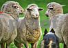 Meeker Classic Herding Trials