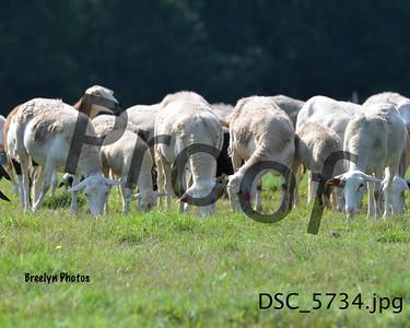 Herding8/20/17