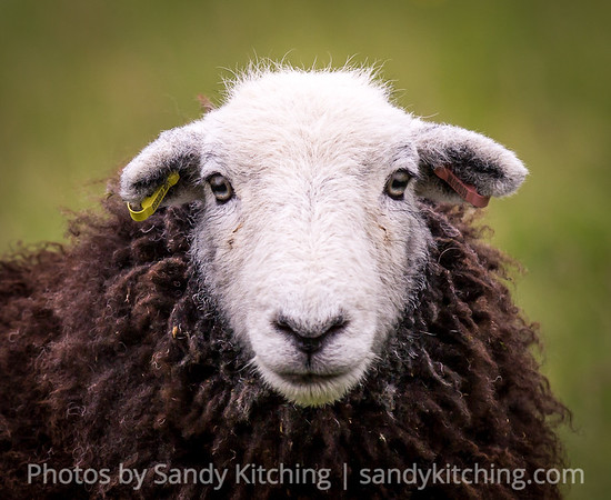 Herdwick sheep July 2017