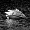Swans - Heron Reserve 2019 - Grooming - 2
