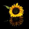 Flowers - Aug 5 2019 - Sunflower Reflection