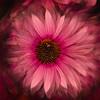 Echinacea Dreaming