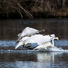 Swans - Heron Reserve 2019 - Landing - 1