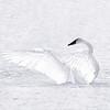 Swans - Heron Reserve 2019