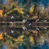 The Swans Return