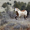 Eastern Oregon wild horse