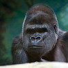 Western Lowland Gorilla at Louisville Zoo
