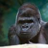 Western Lowland Gorilla at Louisville Zoo