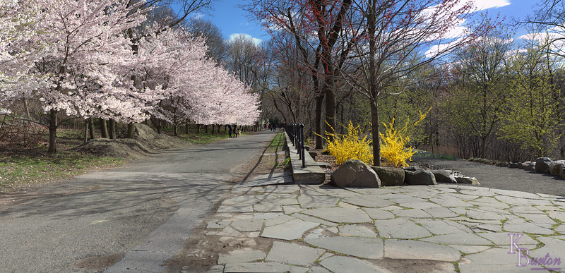 DSC_3990 Cherry blossom pano