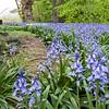 DSC_1789 bluebells