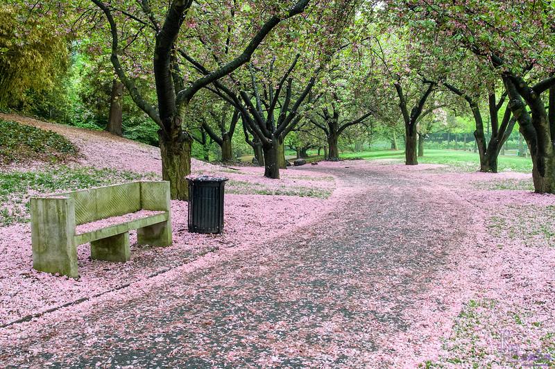 Cherry Blossom Lane