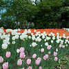 dsc_4513 tulip bed at Snug Harbor