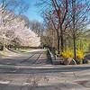 DSC_4586 Cherry blossom time