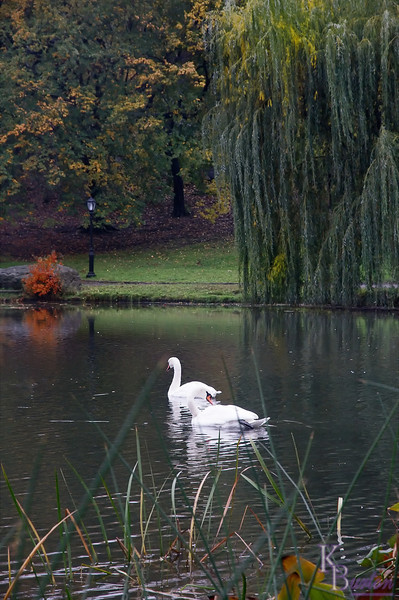 dsc_8950 swans at the Harlem mere on a fall afternoon