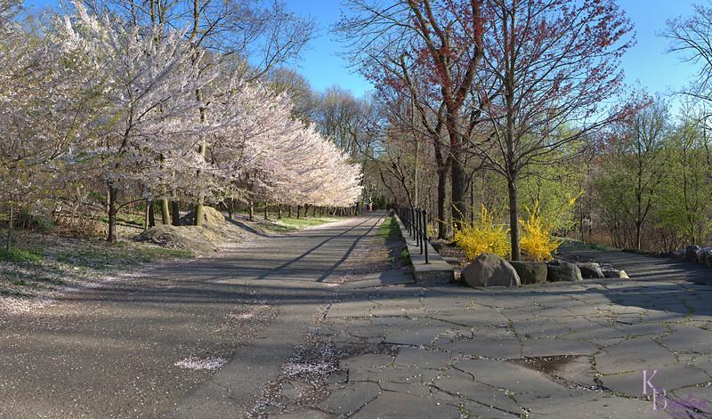 DSC_4695 Cherry blossom pano