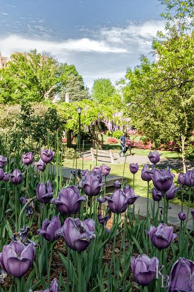 DSC_7944 tulip bed