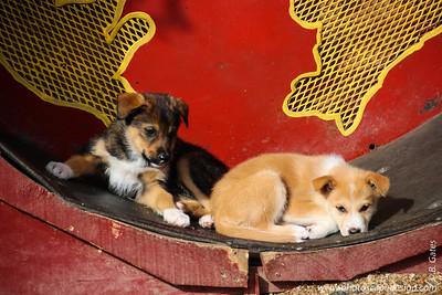 Puppies in Training at Husky Homestead - Denali National Park, Alaska