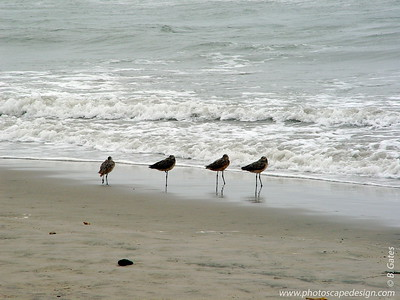 Sandpipers - Ventura, California