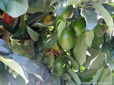Avocado tree - Ventura, California