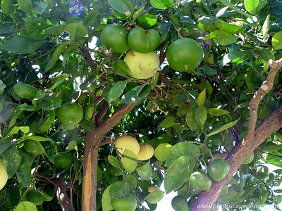 Grapefruit tree - Ventura, California