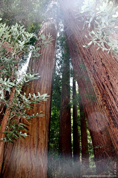 The native people of this region, the Coast Miwok, called the redwood tc-ole, or tcobe.  On the Kalamath River, far to the north, Yuroks referred to redwoods as keelch.    The first written reference to redwoods as penned on October 10, 1769, by Father Juan Crespi, a missionary who came to California with the Spanish exploratory expedition led by captain Gaspar de Portola.  Noticing the reddish bark of the trees, Crespi called them palo colorado - redwood.    Today, the scientific name for coast redwood is Sequoia sempervirens, evergreen sequoia.