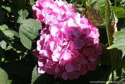 V. Sattui Winery - St. Helena, California  Mophead Hydrangea (Hydrangea macrophylla)