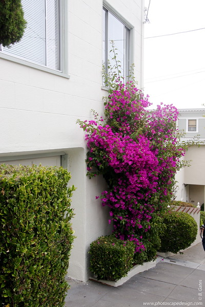 Very well-trained and well-cared for Bougainvillea