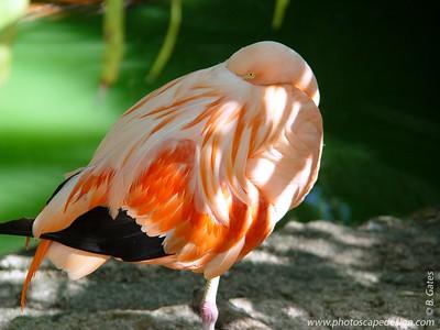 Flamingo - Ardastra Gardens - Nassau, Bahamas (Travel / Cruises / Caribbean 2004 Gallery)